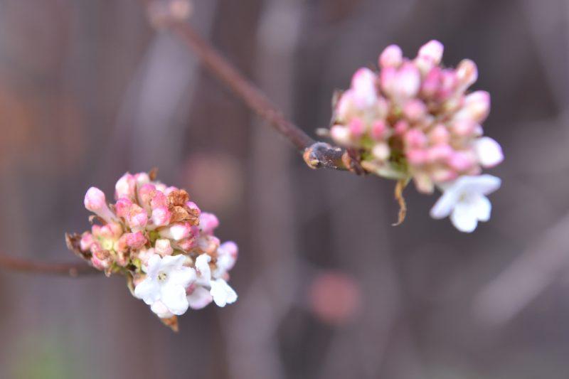 Очередное чудо природы: в Запорожье в январе цветет жасмин (ФОТО)
